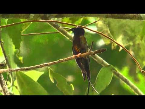 Fiery Topaz Hummingbird in the Yasuni