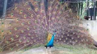Peacock Fanning and Closing It's Tail at Farm in The City
