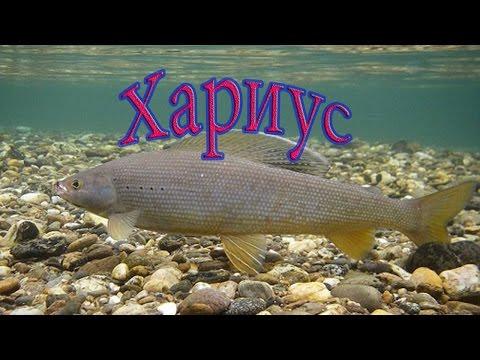 Хариус -  самая распространенная рыба Приморского края.