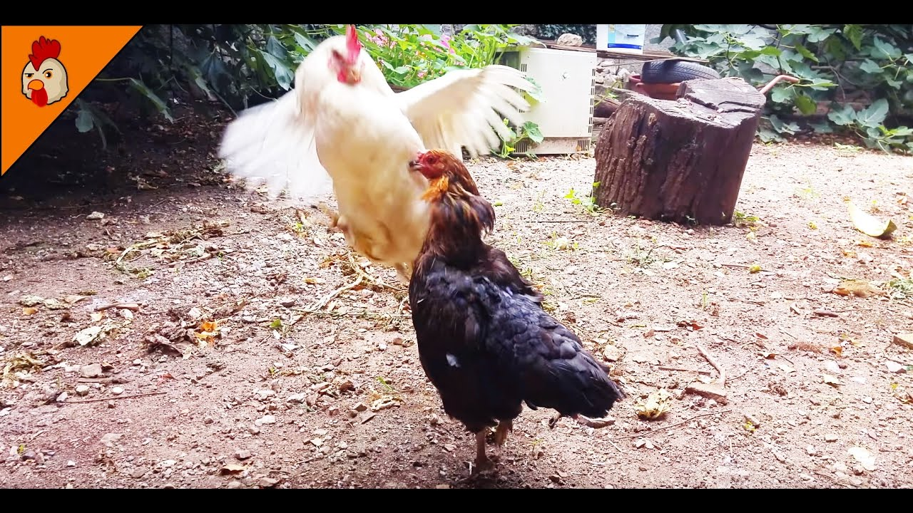 Chicken Pecking Order - Chicken Hierarchy - Chicken Sound ...