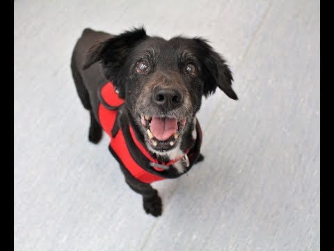 Willow, a female Welsh Corgi/Flat Coated Retriever mix at Muttville