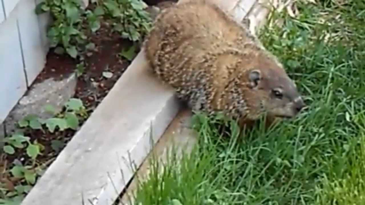mother of groundhog came at me at the fence youtube