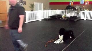 Newfoundland, Week 1 - Dog Training Charlotte North Carolina