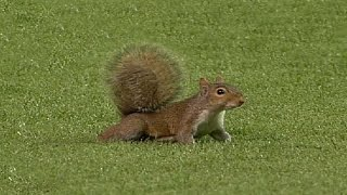 A squirrel disrupts play in the fourth