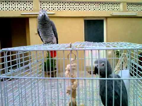 kookoo the African Grey sounds