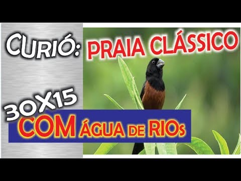 #10 Curió Praia Grande Super Clássico Selo FH 25 Segundos De Canto Para Canto 30x15 De água De Rios