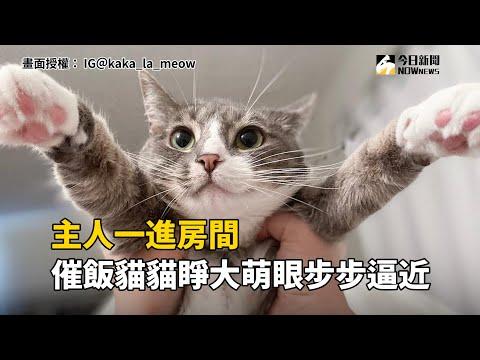 主人一進房間 催飯貓貓睜大萌眼步步逼近