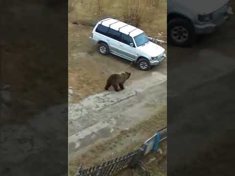 Russian bear chased by police car