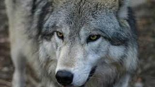 Охота на волка с тепловизором Pulsar Apex 75