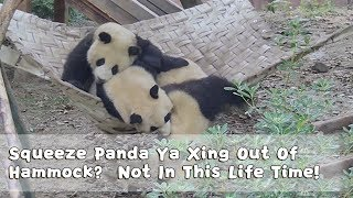Squeeze Panda Ya Xing Out Of Hammock? Not In This Life Time! | iPanda