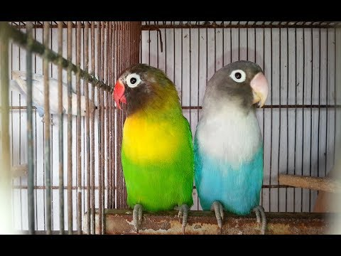 Love Birds Ki Progress 4th Breed