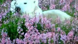 NHKハイビジョン特集で岩合さんの名撮影 北極クマが花園でリラックスし...