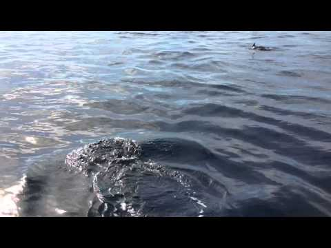 Dolphins swimming along mystic in Santa Monica Bay