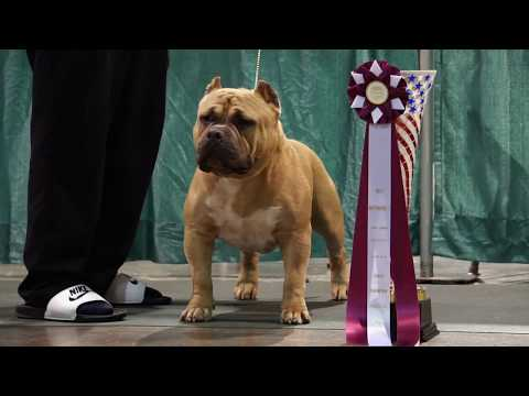 Bully Independence 7 Perry GA ABKC American Bully Dog Show FULL VIDEO!