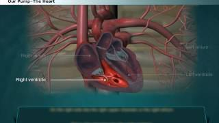 Science 8 8 42 Structure of Human Heart External Features