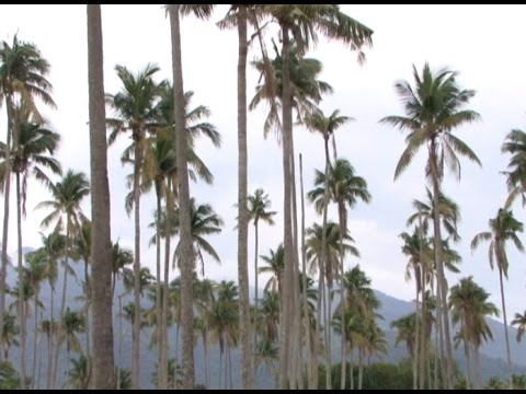 PCA implements three-month moratorium on coco tree cutting