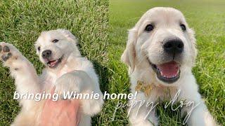 I GOT A PUPPY!! 8week english cream golden retriever