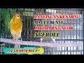 Pancingan Khusus Buat Kenari Macet Bunyi Jadi Rajin Gacor Ngeroll Kenarinya  Mp3 - Mp4 Download