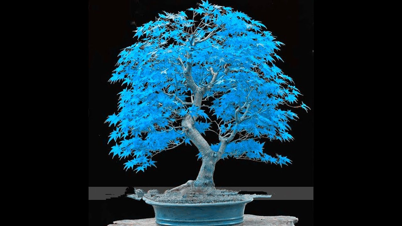 Blue Maple Bonsai Tree Fake Scam Color Youtube