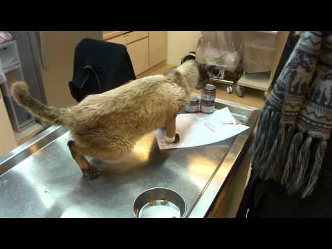 南海之貓 暹邏貓領養記錄 1/2 @康廷動物醫院 20110323 18:07