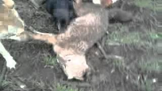 Охота на шакала. Давка.(видео, добавленное с мобильного телефона., 2012-03-14T05:49:47.000Z)