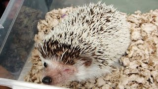 One of TheSorryLife's most viewed videos: HEDGEHOG EYE INJURY - HARLEY UPDATE