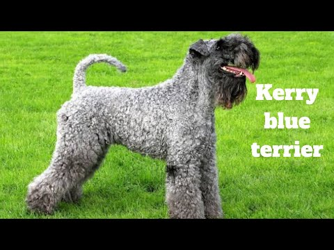Kerry Blue Terrier | amazing facts in hindi | Animal Channel Hindi