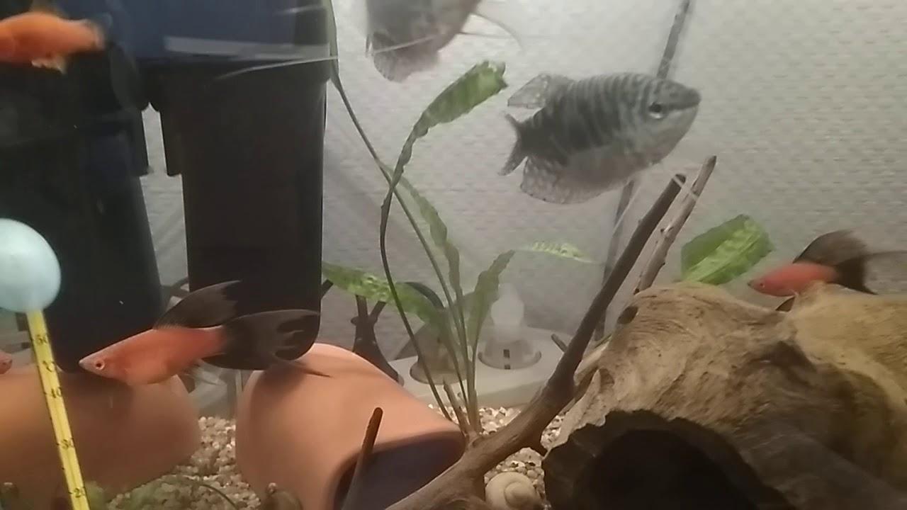 Ампулярии отложили икру. Новая рыбка в аквариуме. - YouTube