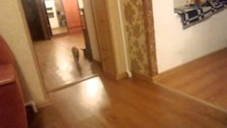Кот как собака