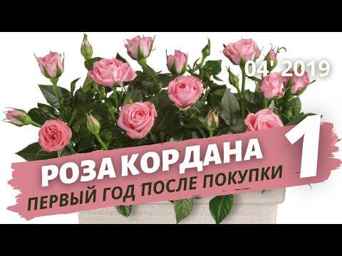 Роза Кордана — уход после покупки в домашних условиях. Пересадка   Апрель 2019