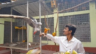 New Girl Friend For Rio The African Grey Parrot / How To Set Birds Pair For Breeding.