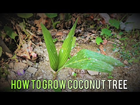 Coconut Tree - How to Grow Coconut Tree at Home
