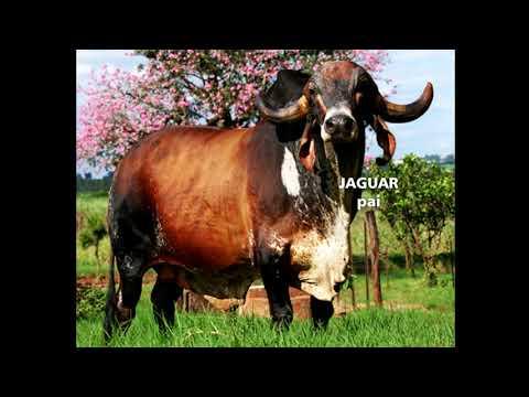 LOTE 34   Hani Fiv do Basa Basp 464 X Jaguar