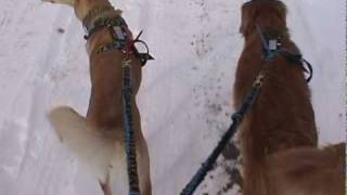 Firenza - Ground Training A Young Sled Dog