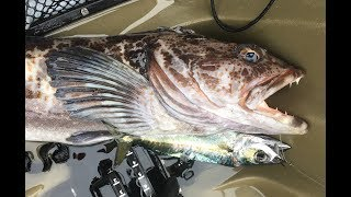 Live Bait Fishing for Lingcod from a Kayak