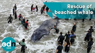 Amazing video showing rescue of beached humpback whale in Argentina