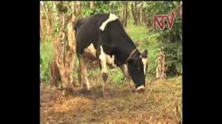 On the Farm: Zero grazing in Buikwe