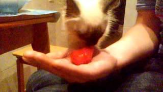 Кошка ест помидор