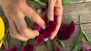 Drying Celosia