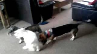 Basset Hound, Westie And Standard Wirehaired Dachshund
