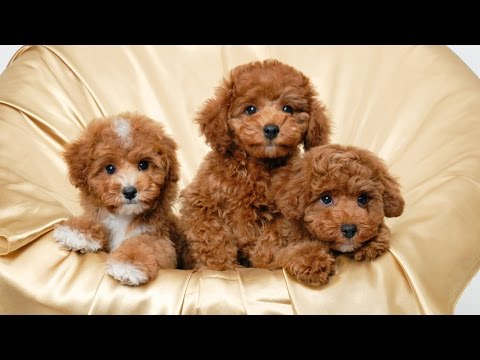 Top 10 Teacup Dogs(Cute Dogs) - Small Dogs