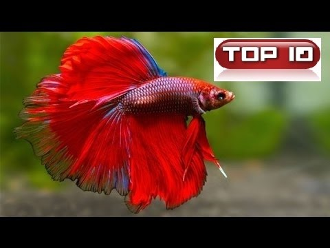 Top 10 pesci pi diffusi nell 39 acquario tropicale dolce for Pesci acqua dolce