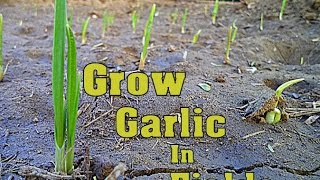How to  Grow Garlic Fast in The fields // Gardening Tips // Mammal Bonsai