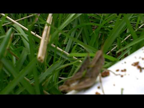 Noyjeetut's Shitty Video Extravaganza: Cricket or GrassHopper Sex, you be the judge...