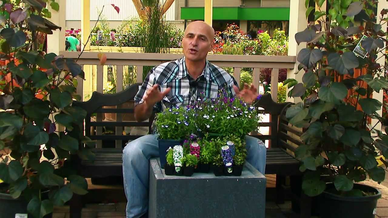 Flower Of The Week Lobelia Youtube
