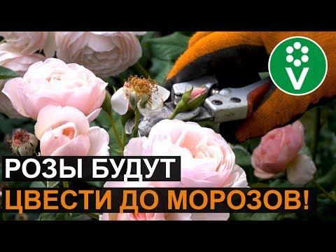 Розы отцвели? Обрежьте их ТАК, и повторное цветение вас поразит!