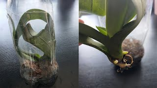 WE RESCUE ROOTLESS ORCHIDES, DONT TAKE ROOTLESS ORCHID, ORCHID REMOVED 3 ROOTS AND LEAFS IN 10 DAYS
