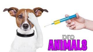 Вакцинация собак, прививки [ProAnimals]