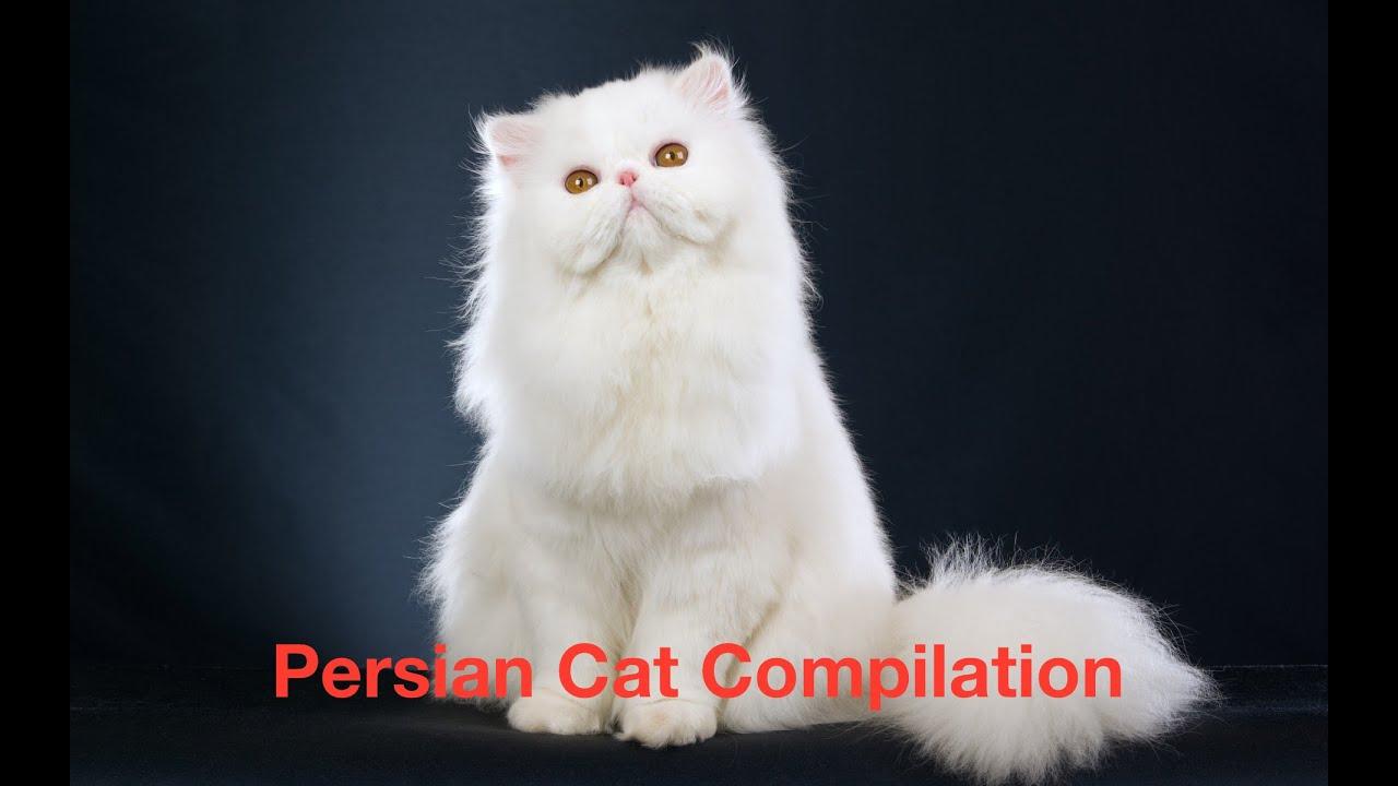 Persian Cat Compilation