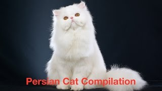 Persian Cat Compilation